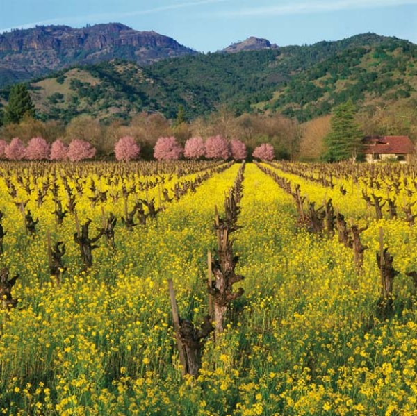 10-219-Callaert-CNV 81 Mustard, Plum Blossoms, Vineyard, Napa Valley CA