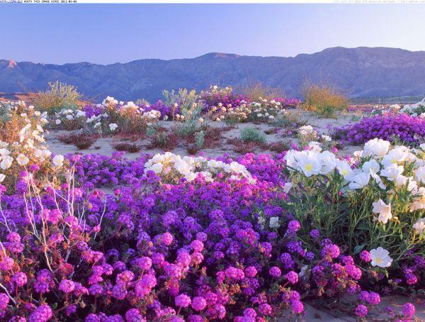 desert-flowers-anza-borrego-desert-state-park-california